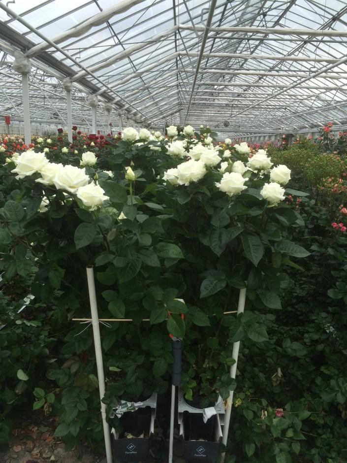 "SCHREURS: ""Open Days Cold Rose Cultivation"" May 18th - 21st, 2015."