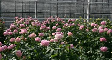 SCHREURS Rose Cultivation – COLD
