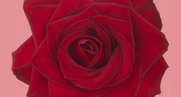 Valentine's favorite red roses